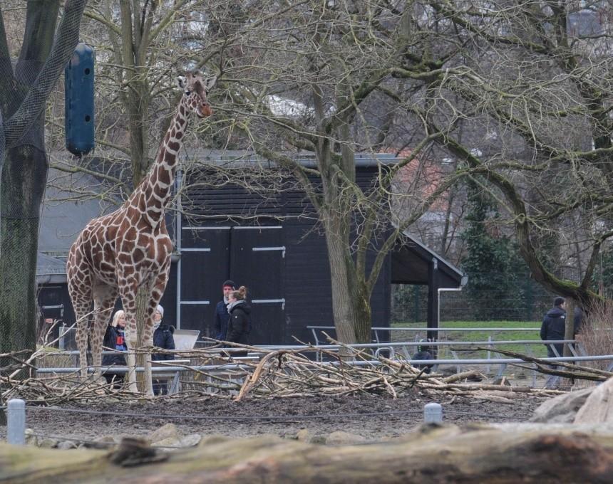 Жирафа Мариуса умертвили на глазах публики 10 февраля нам жаль, прощайте