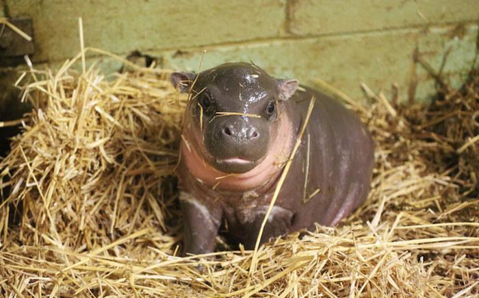 Знакомьтесь, это новорожденный бегемотик бегемот, животные