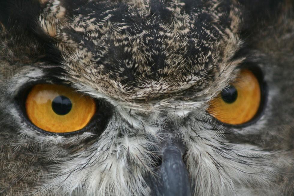 9. Не подглядывайте!  взгляд, гипноз, сова