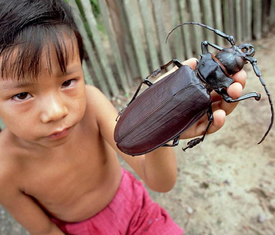 Самый большой жук. Самые большие животные, животные, рекорды