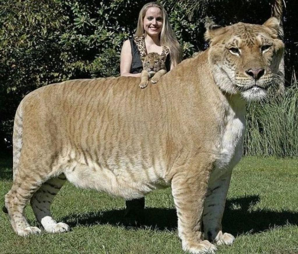 Самая большая дика кошка. Самые большие животные, животные, рекорды
