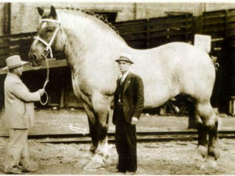Самая большая лошадь. Самые большие животные, животные, рекорды