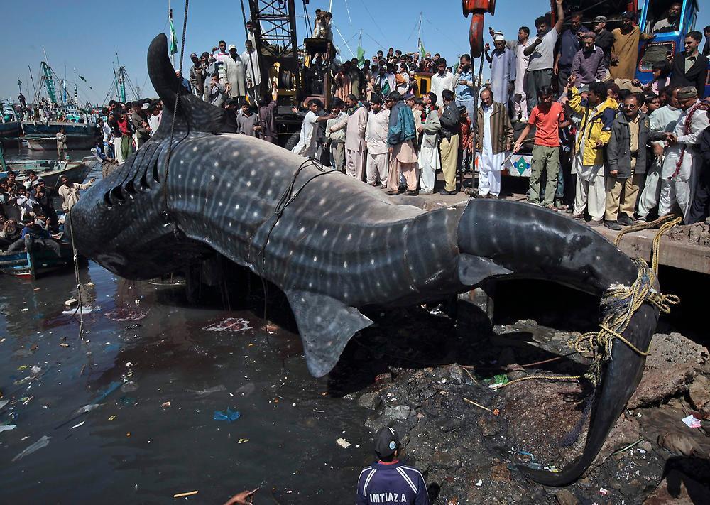 Самая большая акула. Самые большие животные, животные, рекорды