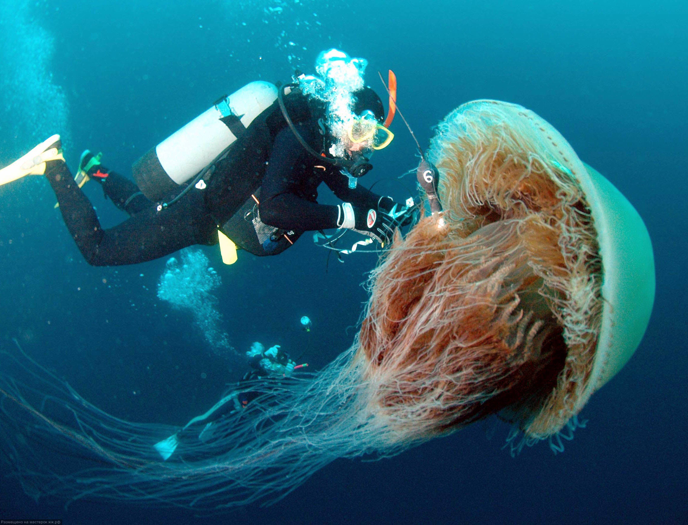 Самая большая медуза. Самые большие животные, животные, рекорды