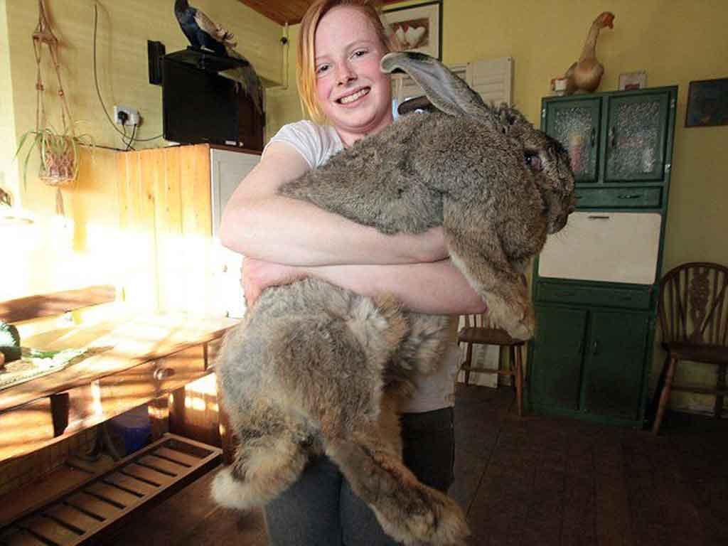 Самый большой кролик. Самые большие животные, животные, рекорды