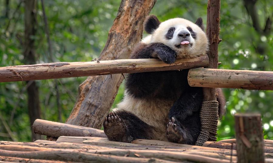 Панда забавные картинки