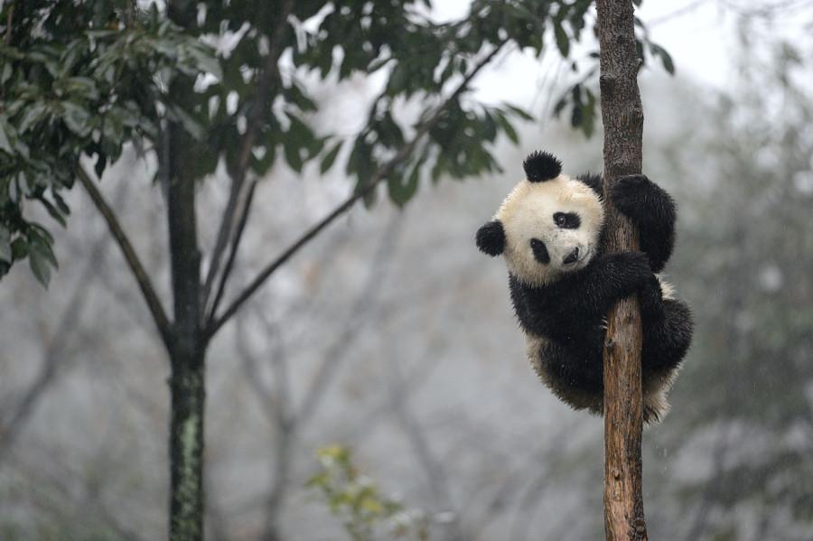 Скучающие, задумчивые и забавные панды животные, панды, фото