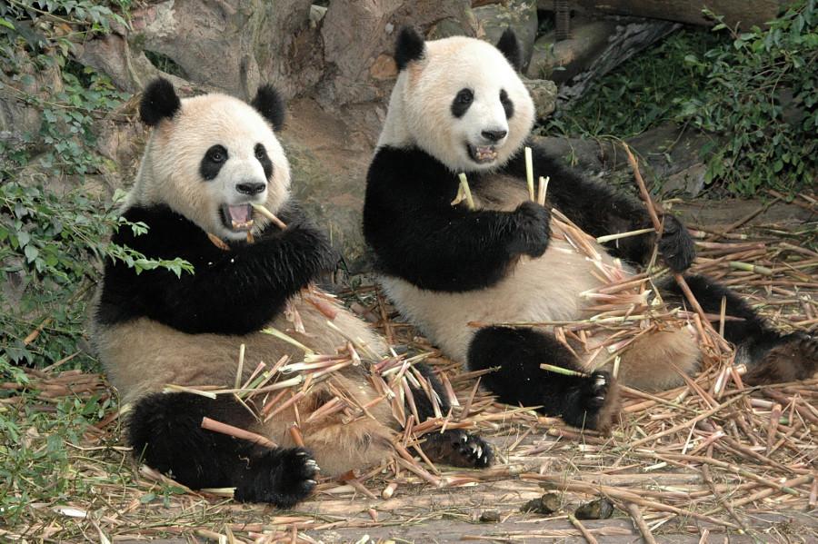 Панда картинки смешные