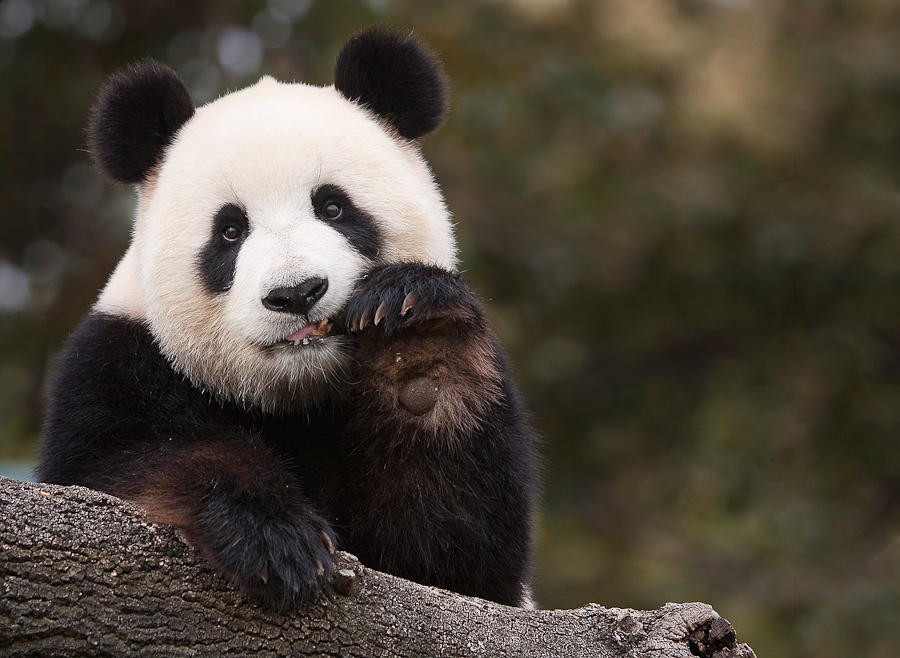 Картинки панды прикольные