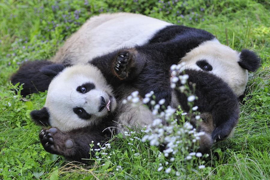 Дню, смешные картинки с животными пандами