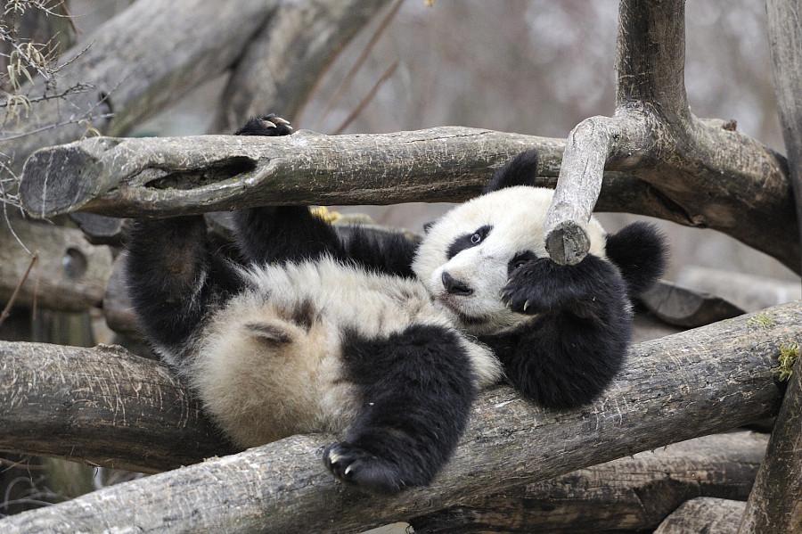 Добрым, смешные картинки с животными пандами