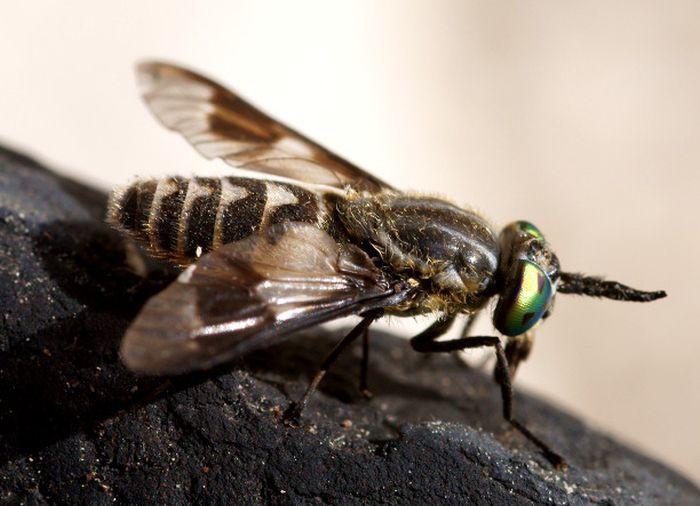 6. Слепень дача, насекомые