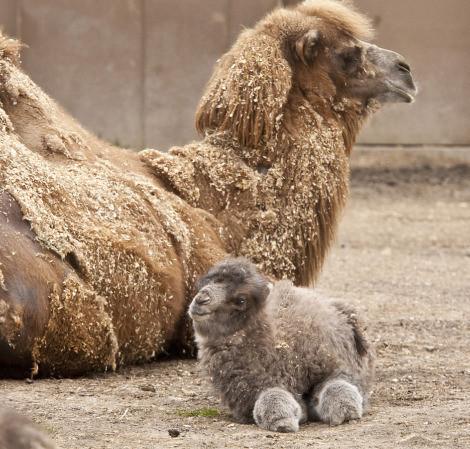 20.  Почти как игрушечный — верблюжонок детеныш, животные