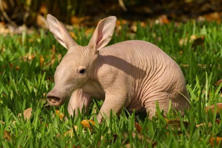 15. Малыш африканского муравьеда детеныш, животные