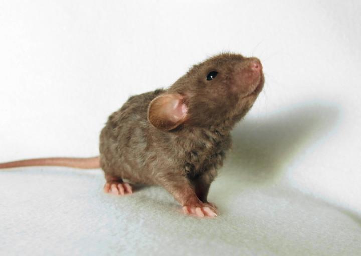 18. Крысёныш детеныш, животные