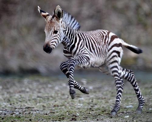 9. Резвый зебрёнок детеныш, животные