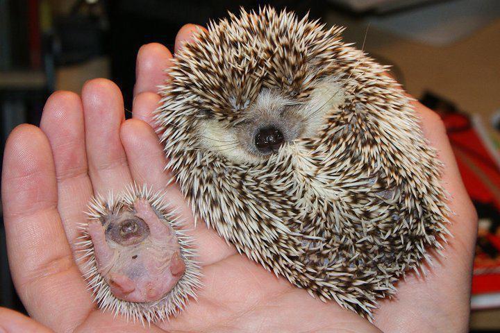5. Вот они какие — маленькие ёжики детеныш, животные