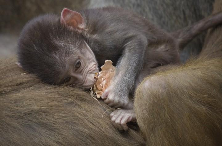 7. Детёныш павиана детеныш, животные