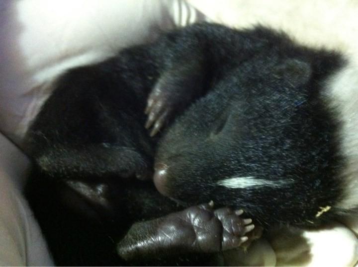 8. Маленький скунс детеныш, животные