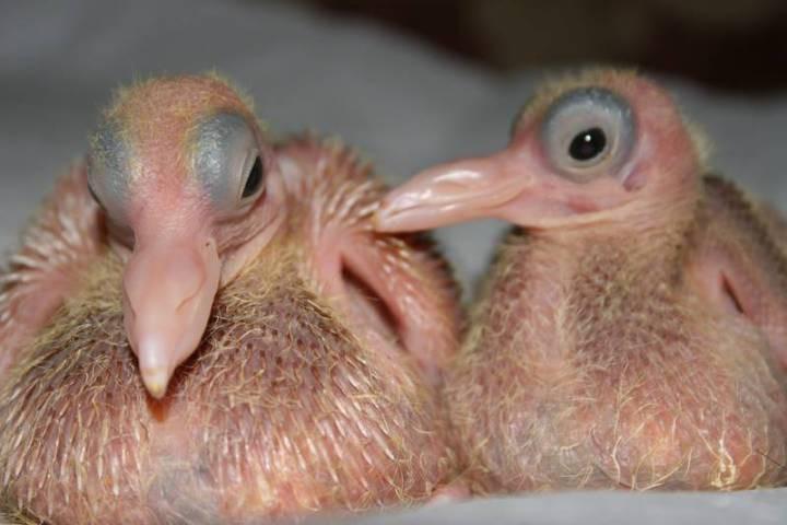 3.  Недавно вылупившиеся голуби детеныш, животные