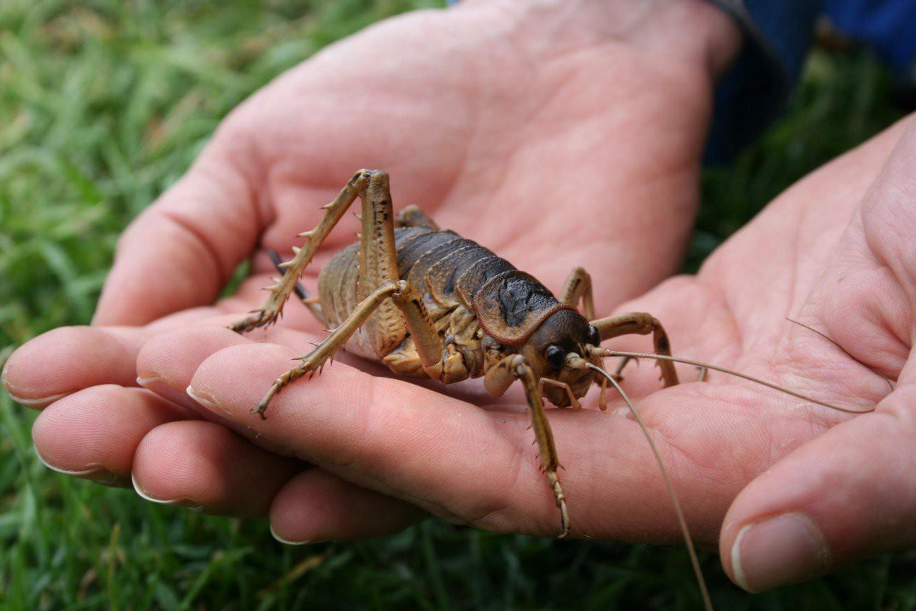 Гигантский Уэта (Deinacrida) жук, планета