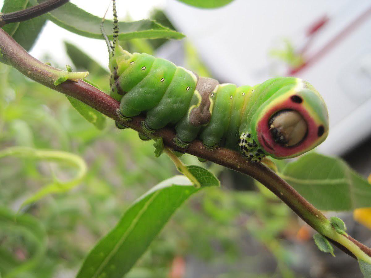 Гусеница Cerura vinula жук, планета