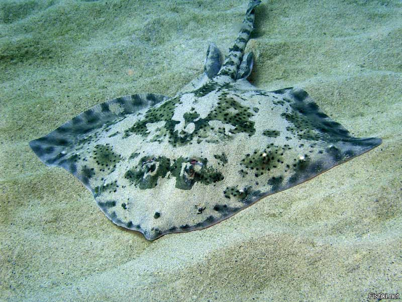 обустройства оригинальных черноморский скат рыба фото предлагаем недорого снять