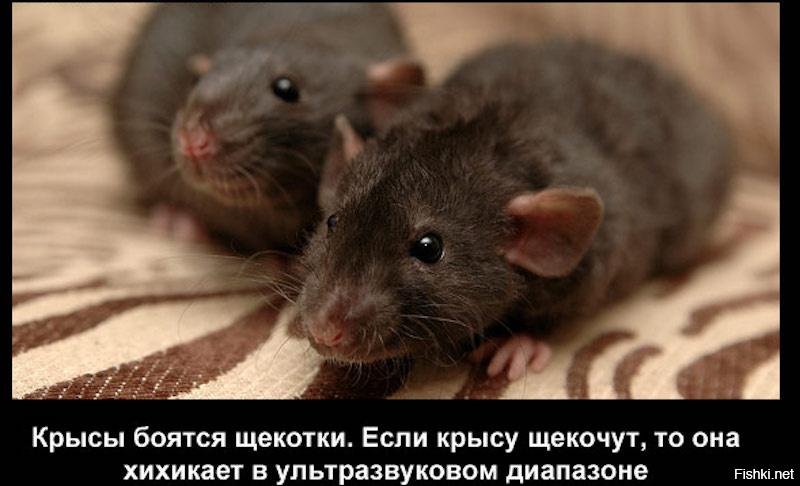 Картинки про крыс людей
