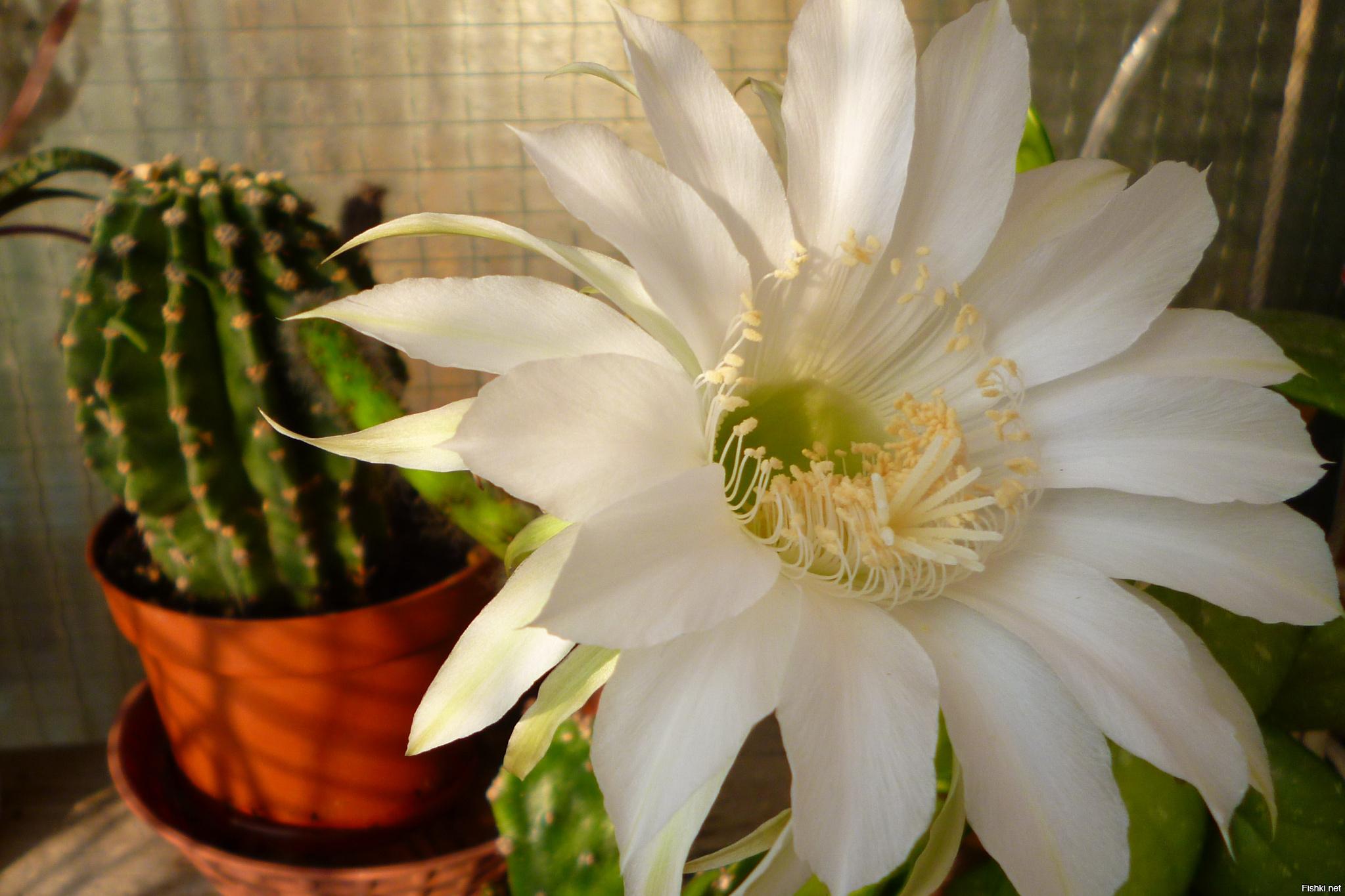 фото как зацветает кактус фото духов день хочу
