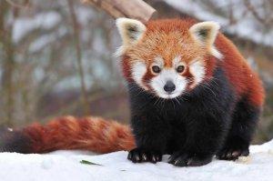 на самом деле, символ браузера firefox не обычная рыжая лиса, а китайская огненная лиса (красная панда или малая панда). выглядит она вот так: