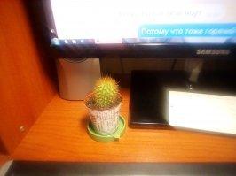 Билиат, вчера кактус иопаный точно также купил, только в Ленте