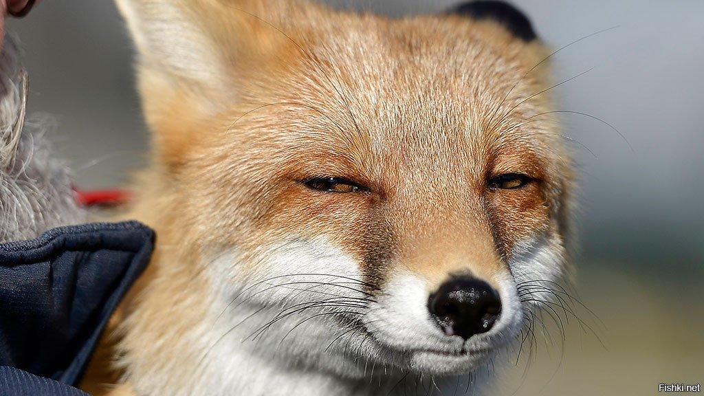 Картинка лисы обиделась