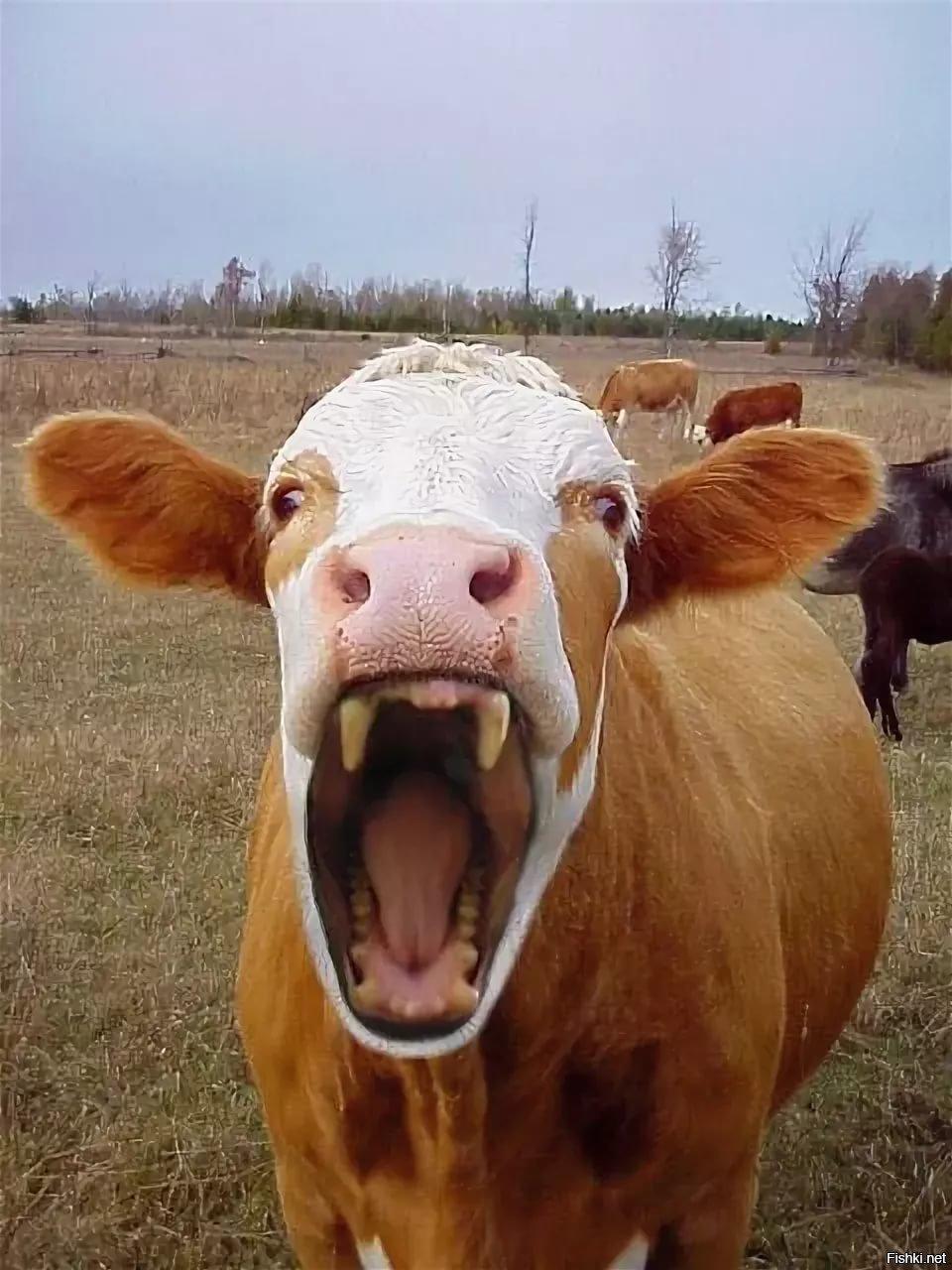 Прикольные картинки коров быков