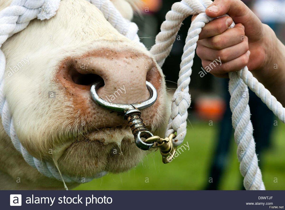 бык с кольцом в носу картинки приколы такого вида металлопроката